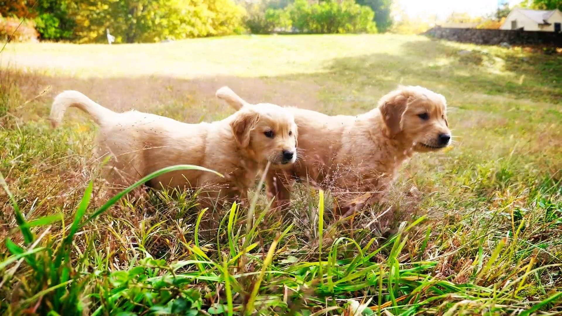 The Cutest Puppies - The Cutest Golden Retriever Puppies | AKC.TV