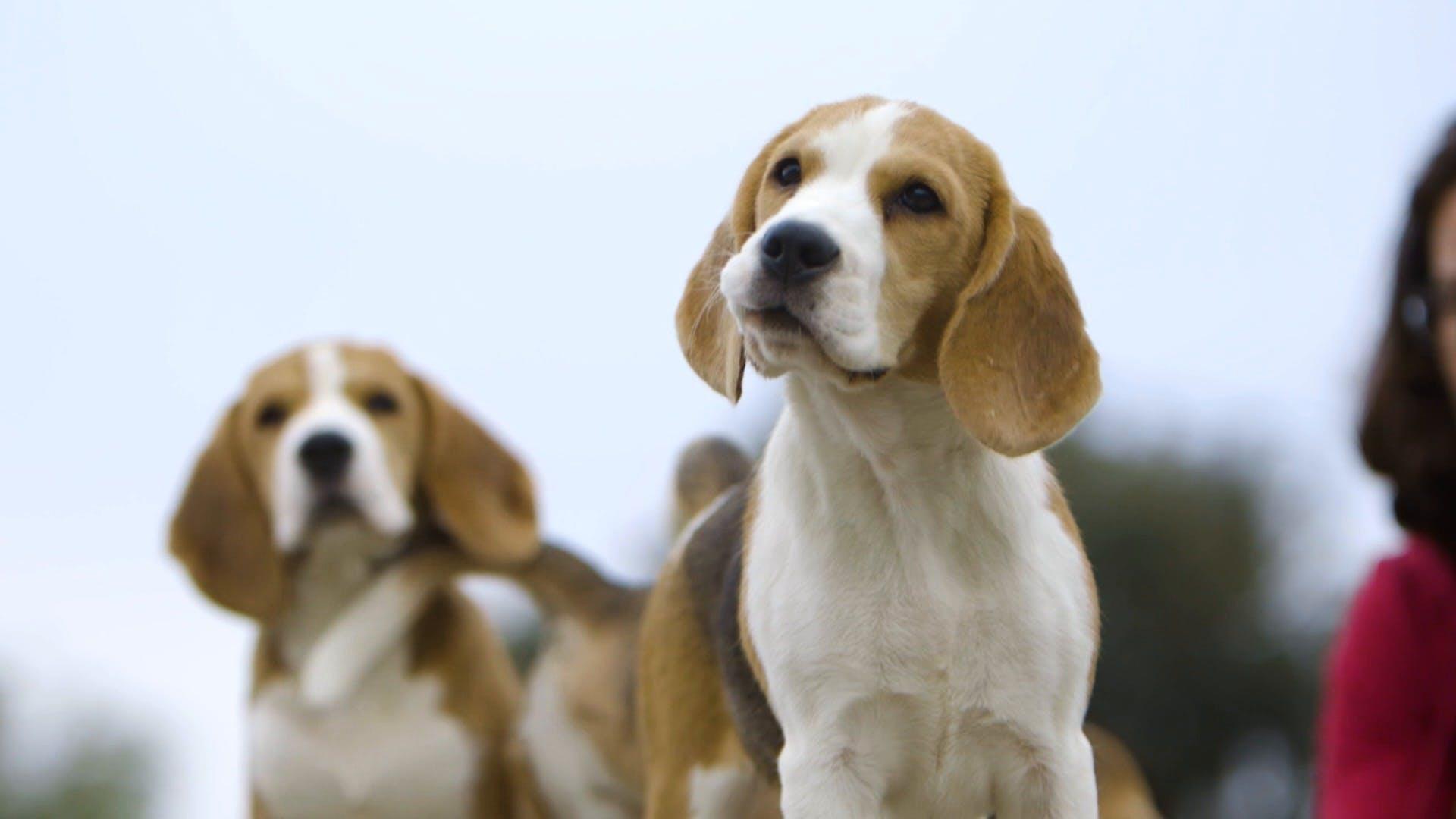 Meet the Breeds - Beagle   AKC.TV